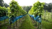 wijngaard_land-en-boschzigt_ranken